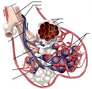 Физиология и патофизиология внешнего дыхания